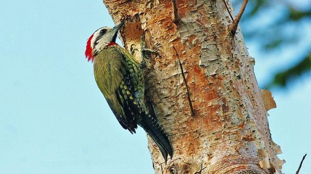 Cuban Green Woodpecker (photo© James Hanlon - link to James's Birds of Cuba Album: https://www.flickr.com/photos/123755770@N02/albums/72157666508799522 )
