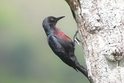 guad woodpecker.jpg