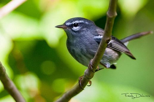 plumbeous warbler.jpg