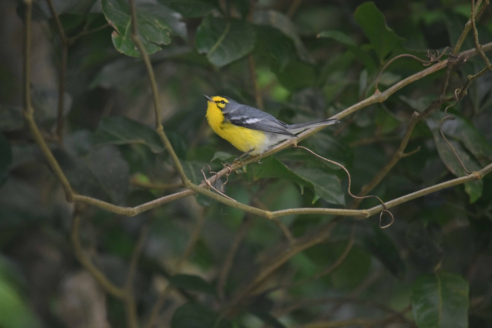 This gorgeous St.Lucia Warbler was the first of several endemics seen by us in the dry forest (photo by Birding the Islands client: John Dyson)