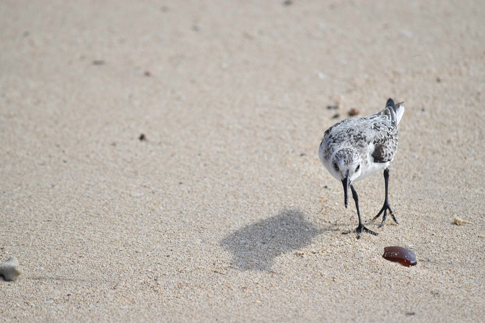 Sanderling scouring a beach on the west coast of Barbados (unless otherwise stated, all photos by Birding the Islands client: John Dyson)