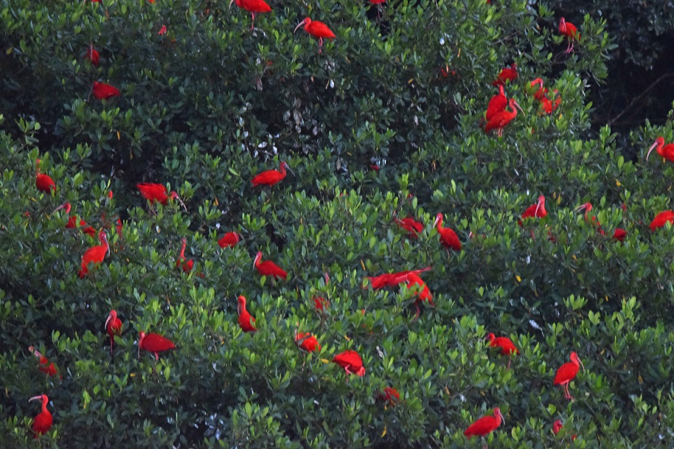 Resembling Christmas lights decorating a mangrove, a fraction of the thousands of Scarlet Ibis we saw roosting in Caroni Swamp