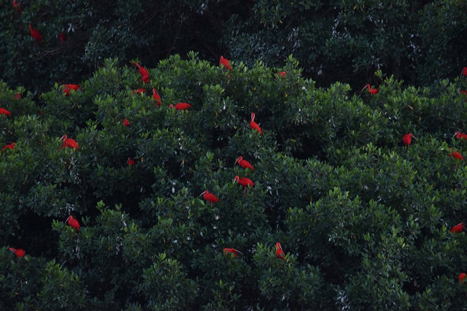 They make a spectacular contrast against the dark green of the mangroves (photo by Birding the Islands client: John Dyson)