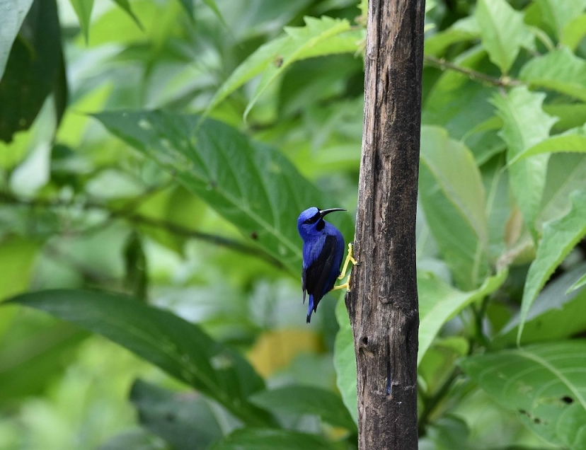 Purple Honeycreepers were all around us (photo by Birding the Islands client: John Dyson)