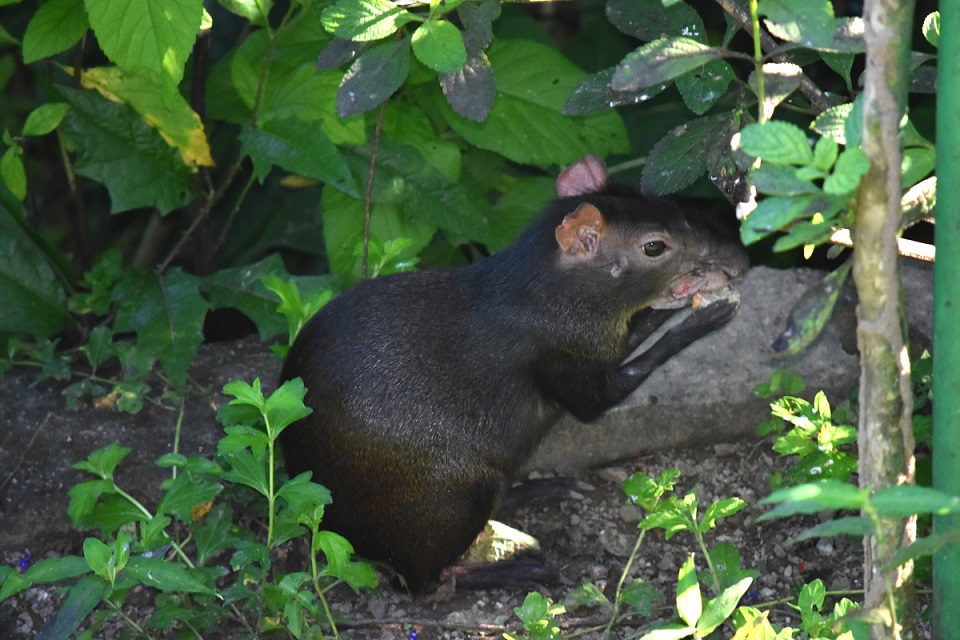 Red-rumped Agouti were a common sighting