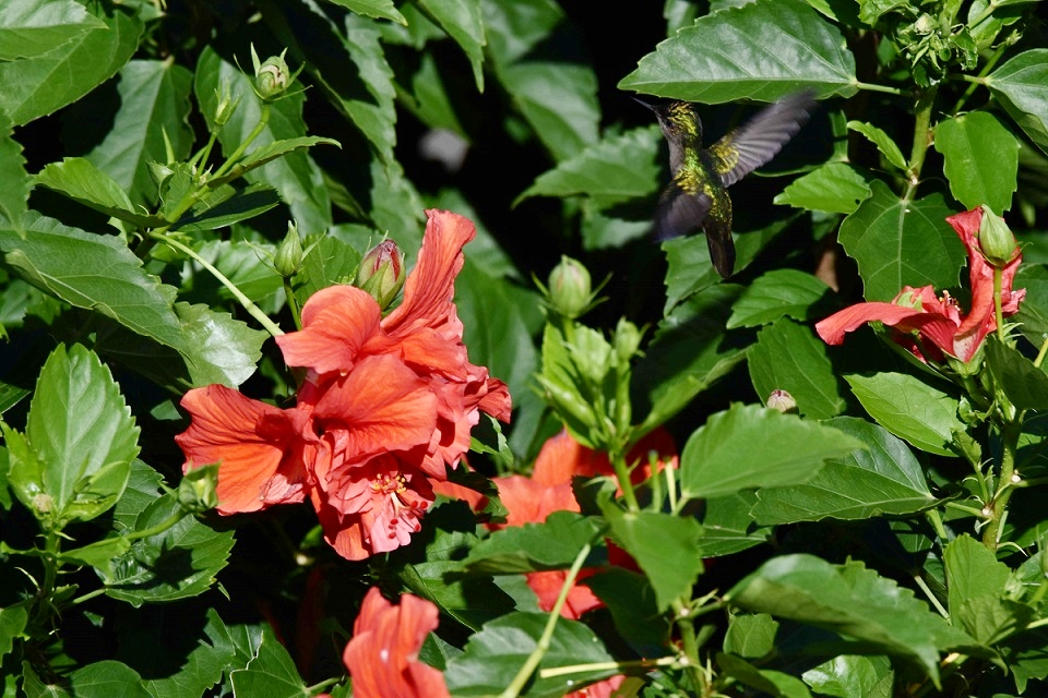 Antillean Crested Hummingbird feeding on hibiscus flowers in Barbados