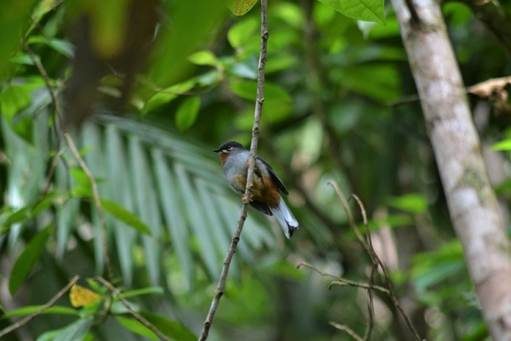 Rufous-throated Solitaire in Des Cartiers Rainforest St.Lucia (photo: Ryan Chenery)