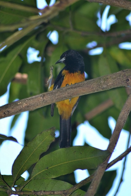 Fire bird - Montserrat Oriole (photo: Ryan Chenery)