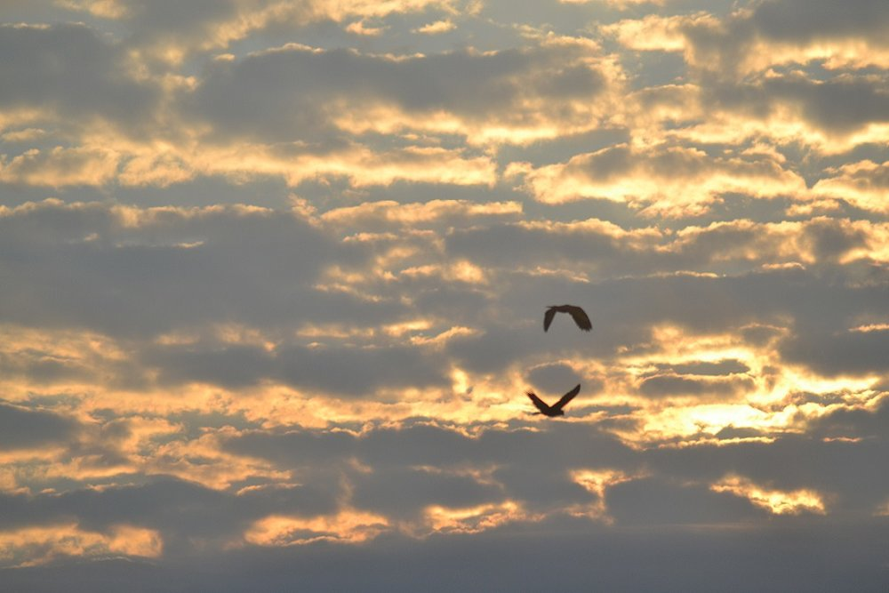A pair of St.Vincent Parrots leaving the roost at sunrise (photo: Ryan Chenery)