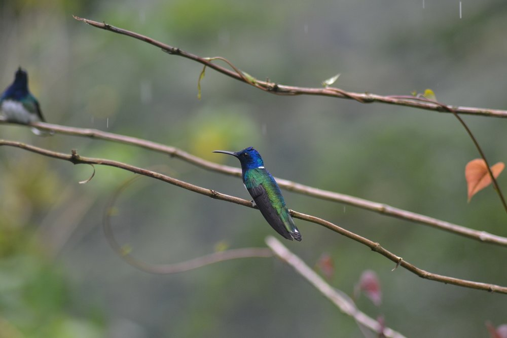 "White-necked Jacobins ""rule the roost"" at Asa Wright (photo: Ryan Chenery)"