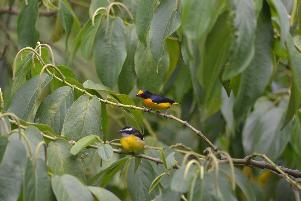 Violaceous Euphonia with Bananaquit in the foreground (Photo: Ryan Chenery)