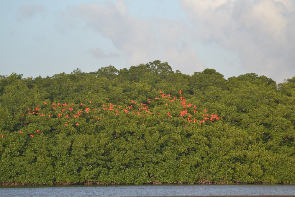 Simply spectacular! Scarlet Ibis coming into roost at Caroni (Photo: Ryan Chenery)