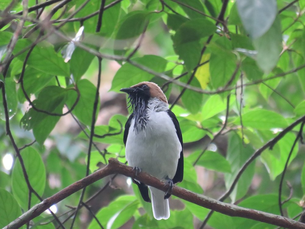 STUNNING! Bearded Bellbird perched above us on the Discovery Trail at Asa Wright (Photo by Birding the Islands client Steve Kornfeld)