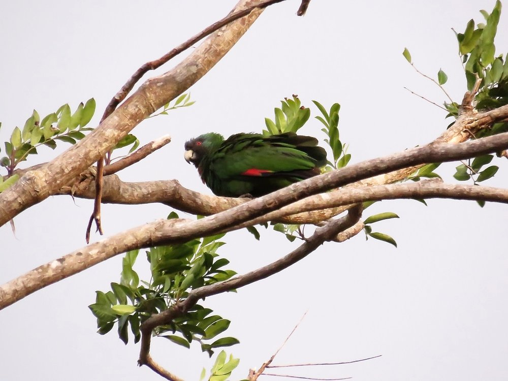 One of several Red-necked Parrots we saw on our second day on Dominica (Photo by Birding the Islands client Steve Kornfeld)
