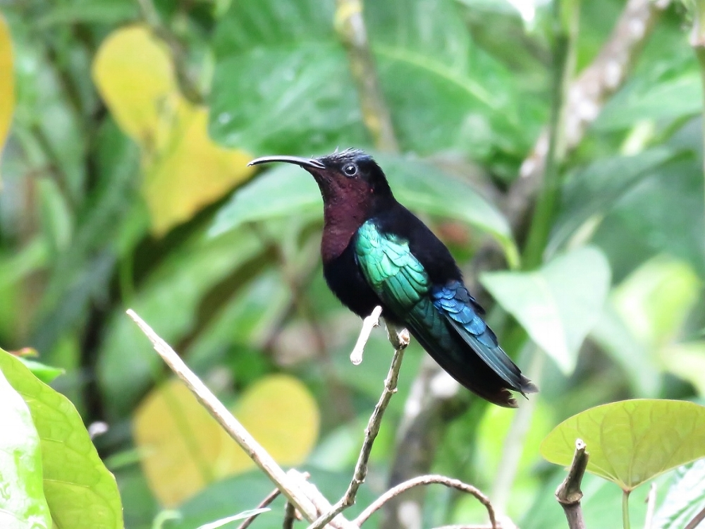 The largest of the hummers seen on the Caribbean leg of our trip - the Purple-throated Carib (photo by Birding the Islands client Steve Kornfeld)
