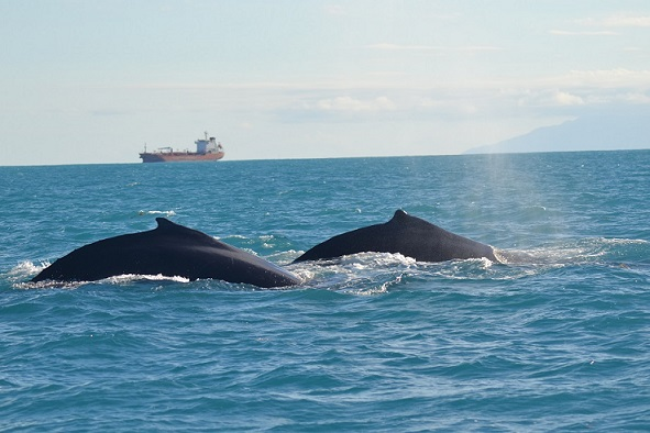 Humpbacks seen on Birding the Islands trip (photo© Ryan Chenery)