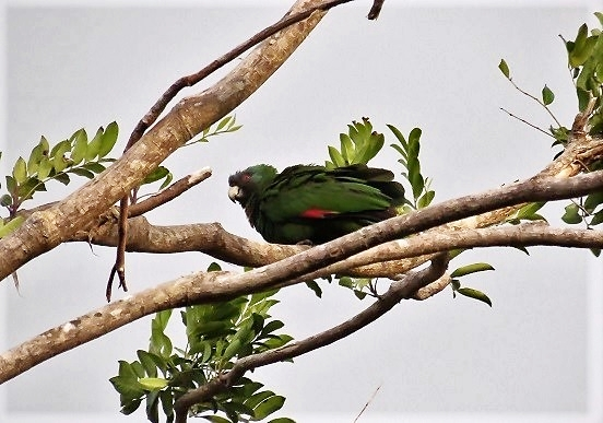 The Jaco (Red-necked Parrot) (photo© Birding the Islands client Steven Kornfeld)