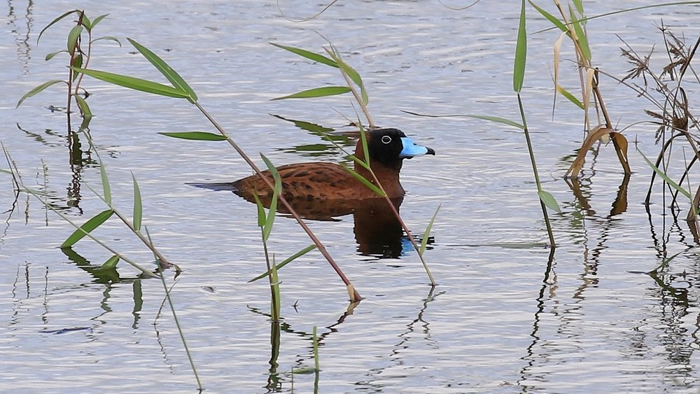 Masked Duck breed on Barbados (photo© BTI Co-leader Keith Clarkson)