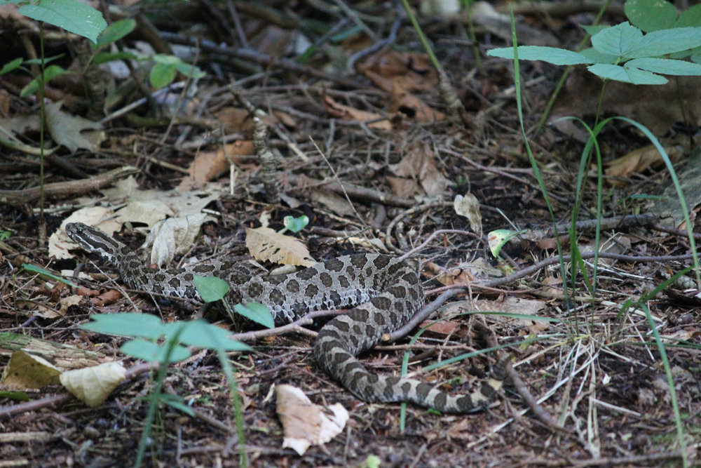 Massasauga Rattlesnake (Sistrurus caternatus) on the Georgian Trail, Georgian Bay Islands National Park. Photo courtesy of Teddie Leung.