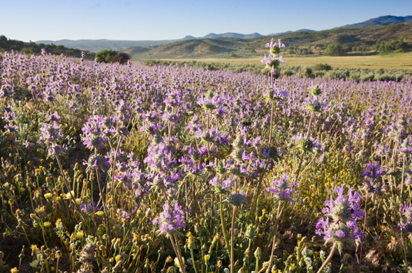 Wild Chia Seed flowers in a rolling field. Chia Seeds are a trusted ingredient in our wildflower balm.