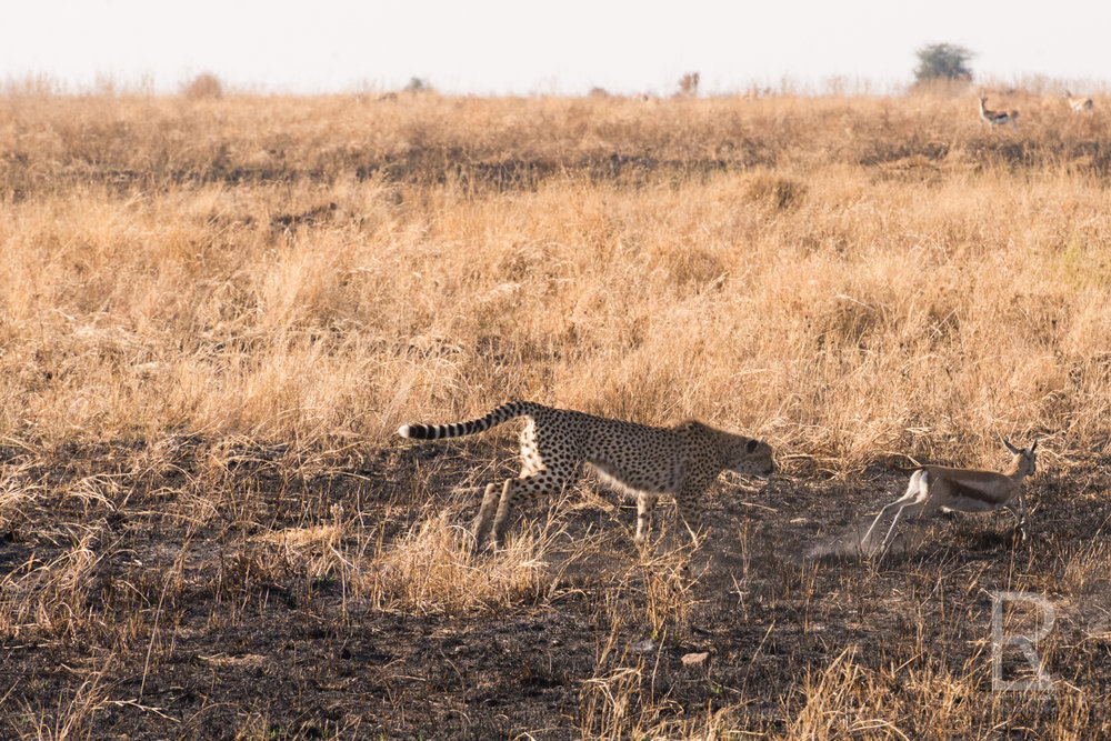 - As we all watched in amazement, the baby gazelle somehow overcame the shock of its situation, got up and tried to escape alive.Then the cheetah cub began to practice its hunting skills. We watched as the gazelle made a run for it but the cheetah cub's speed was no match. Again and again the baby gazelle would get up and run, and get swatted at and trampled by the cheetah cub.