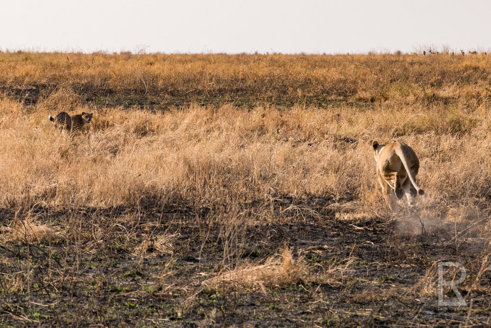 - The lion ran towards the cheetah cub & baby gazelle. As soon as the cheetah cub was distracted by the large lioness, the gazelle tried its escape plan one more time. This time it worked.