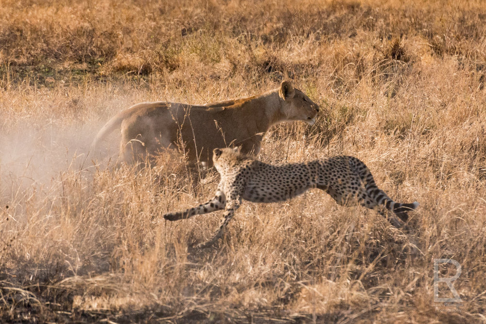 - Imagine that. Two cheetahs, a lion, and a baby gazelle, and the baby gazelle lives. It was the most incredible moment of nature I've ever seen. I never expected to see all three cats go home hungry.