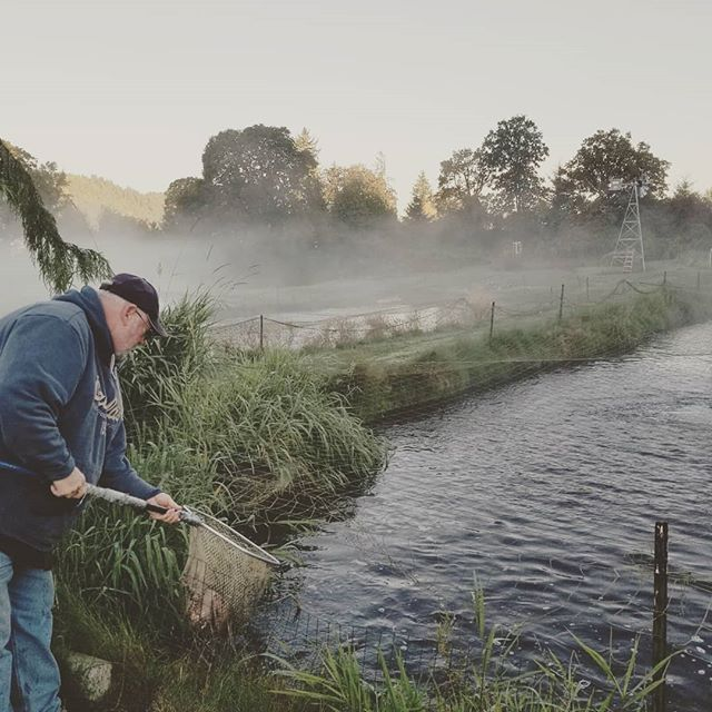 Misty mornings harvesting our Sauvie Island Spring Fed Trout. Harvesting these beautiful trout weekly. The larger size is super limited and likely to be unavailable in the coming weeks. But we have plenty of the 1.5  pound fish available!  #trout #eatwilder #eatwilderfoods  #portland #sauvieisland
