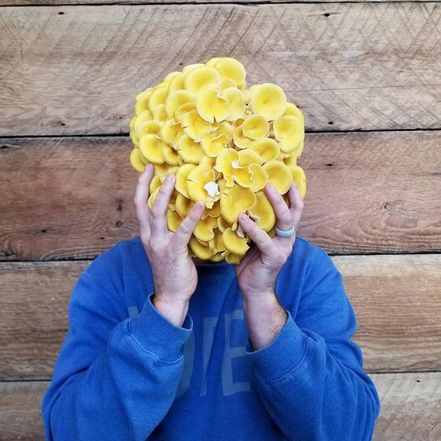 Stepping up the mushroom game! Drop a line to get the details. Lions mane, Italian oyster, yellow oyster (pictured), chestnut, blue oysters, maitake, trumpet, seasonal wild varieties... dang!