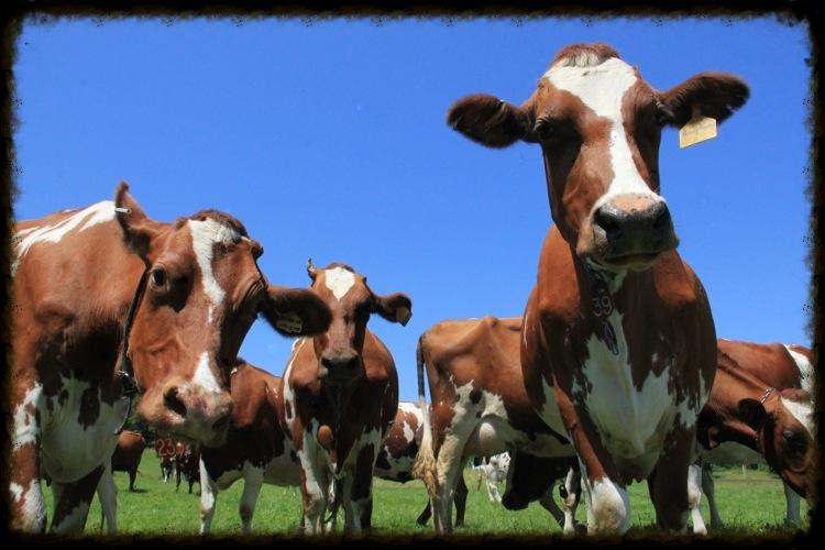 Cows_Maialino-3_web.JPG