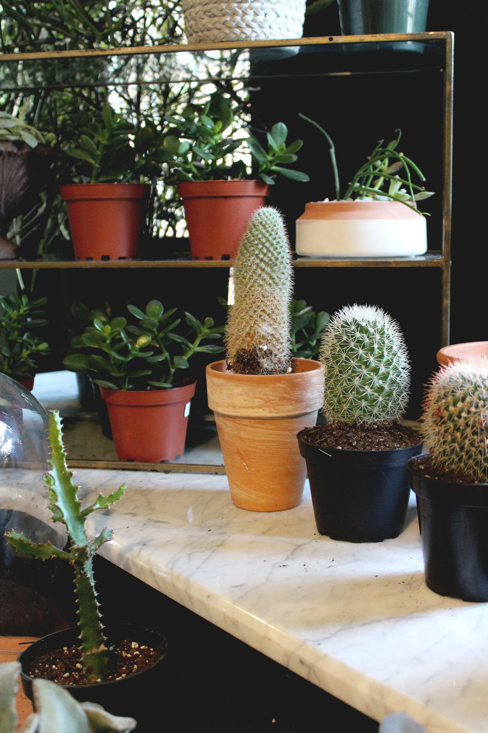 Cacti and Succulents house Plants Brooklyn NY Rosehip