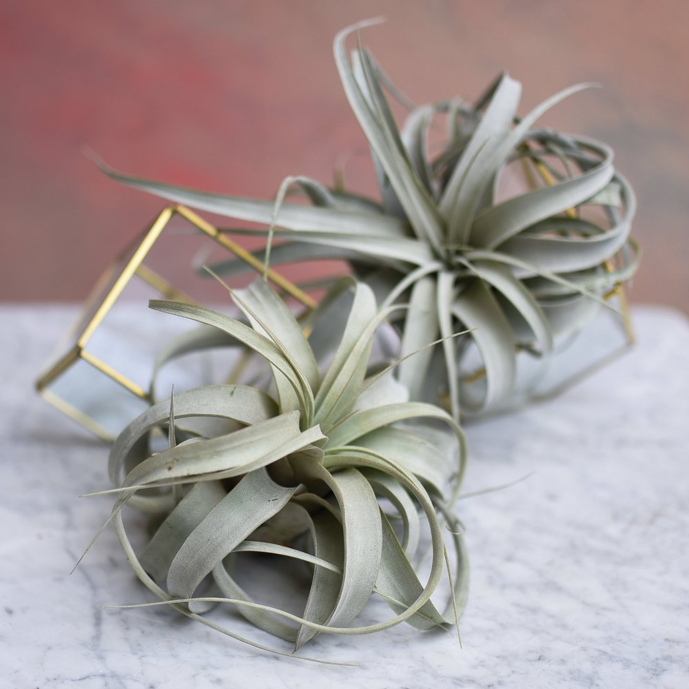 Tillandsia xerographica - Photo Courtesy of Rosehip