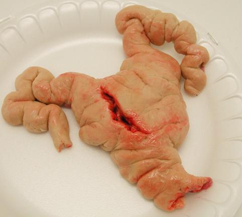 fondant pig uterus