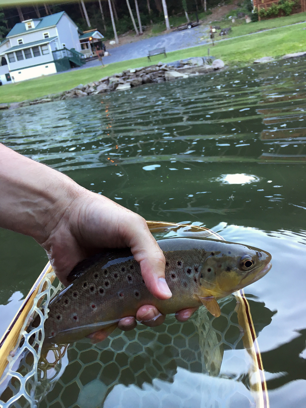 One of the rising trout I fooled with a Rusty Spinner on Penns Creek.