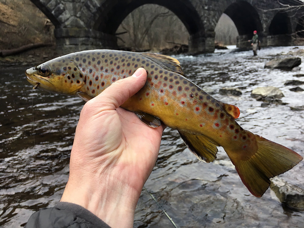 The wild brown trout that took the Hare's Ear nymph.