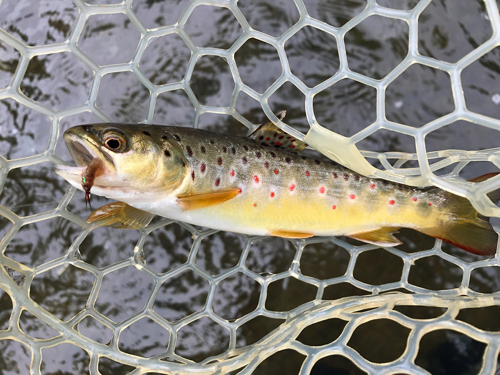 This brown trout has all the classic markings of a wild trout.