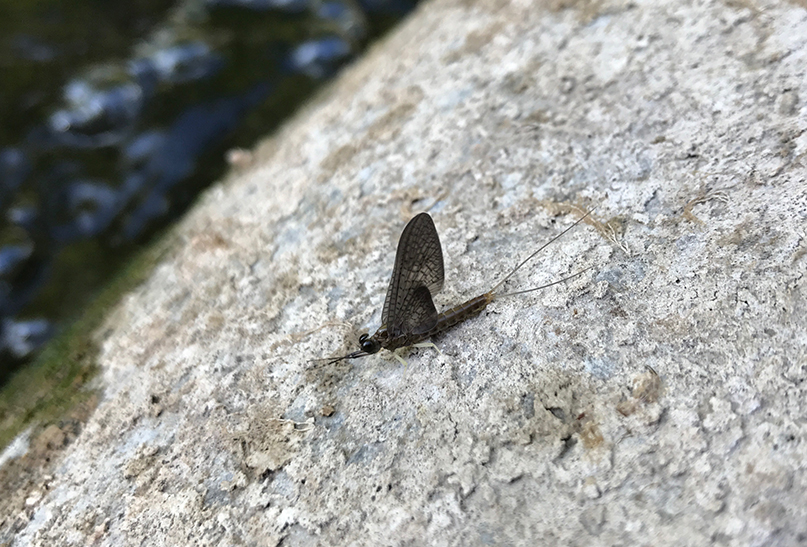 One of the mayflies I encountered on the Chittenango that I believe was a Slate Drake.