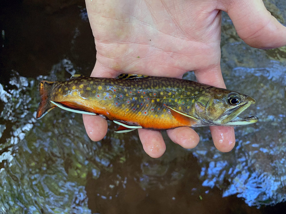 The first brook trout I caught displaying brilliant pre-spawn colors.