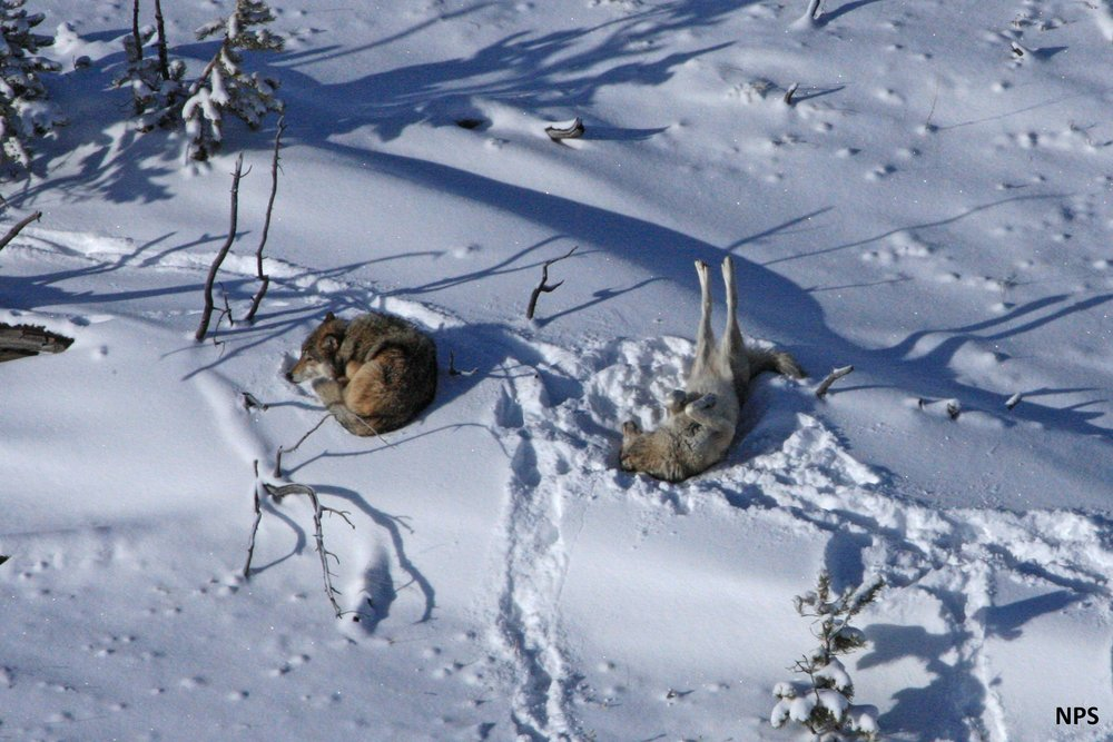 Pack wolves in Yellowstone (National Parks Service)