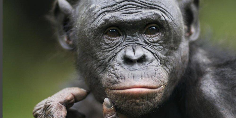 Chimpanzee wise in the wild (Cintia Garai)