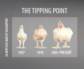 The Changing Size of broilers (Poultry Science Association)
