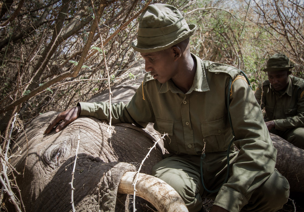 A ranger from Big Life Foundation guarding an elephant carcass with tusks (Jeremy Gross/BLF)