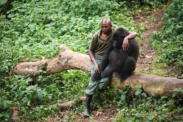 Phil Moore/AFP/Getty Images  Patrick Karabaranga, a Virunga National Park ranger in the Democratic Republic of the Congo, sits with an orphaned mountain gorilla on July 17, 2012 in the park's gorilla sanctuary.
