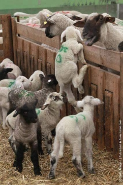 Lambs marked for slaughter desperately try to get back to their mothers.