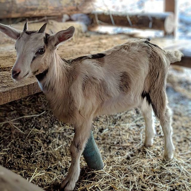Baby goat! This little guy was running around at the location of our last shoot. he was the smallest of the baby goats and super precocious. we never found out how he broke his little leg but he had a funny cast and he would scoot around anyway. . . . . . . #dannythedp #animallovers #animalpolis #animalsofinstagram #igscwildlife #animales #exclusive_animals #wildlifephoto #wildlifeaddicts #wildlifephotography #animalworld #awesomeglobe #animalofinstagram #animalsmood #wildlifeonearth #wildlifeplanet #thecritterhaven #animalsaddict #planet_of_animals  #northcarolina #charlotte #southcarolina #charlottenc #raleigh #shotbypixel #teampixel  #googlepixel