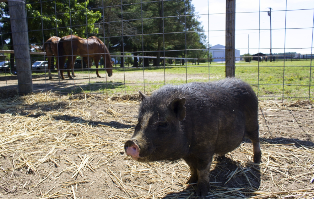 "Rocky ""the Miracle Pig"" takes the stage in front of his brothers-from-other-species-mothers, Hawk and Cody."