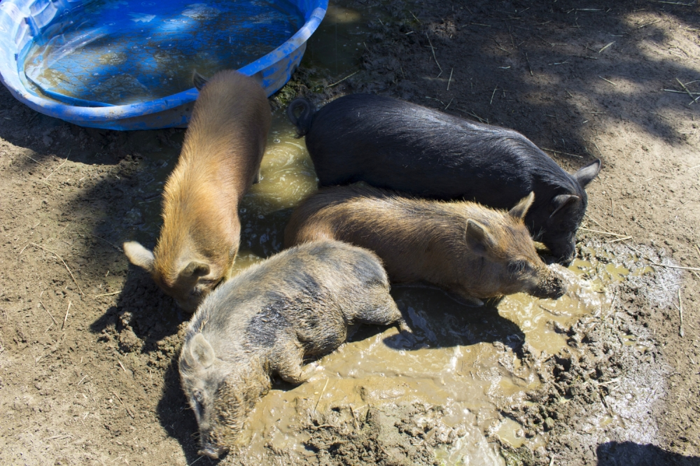 Mickey, Duke, Adrian, and Paulie cooling off together on a summer day.