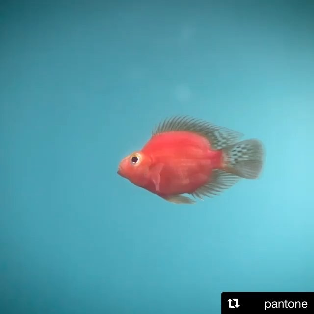 What is the relevance of this little guy? His colour is key to the recent announcement of #Pantone colour for #2019....living coral | 👍 or 👎 | love to know what you think xxx Sally @ #lilyurban . . . . . . #livingcoral #pantone2019 #homedecor #interiordesignermelbourne #interiordesignersydney #designerfauxplants #pottedplants #botanicaldecor