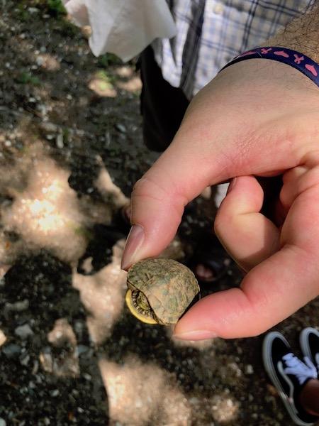 Baby Turtle 450.jpg