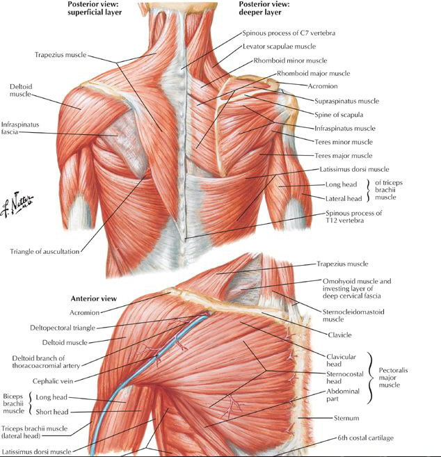 There is more to shoulder than just Pecs and Biceps. Very often upper back is completely ignored even by very regular gym goers. Pic Source: http://cardiovascularcausesofshoulderpa.weebly.com
